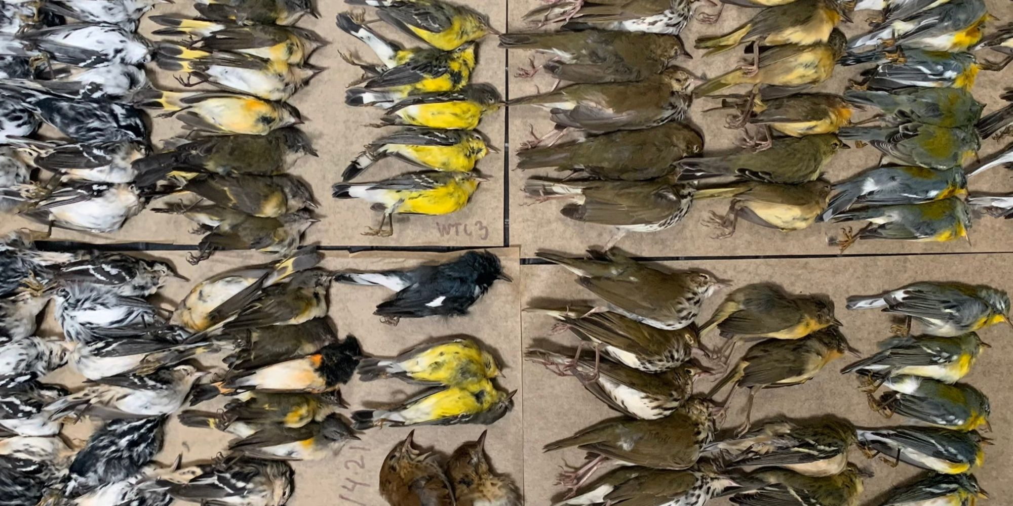 Why Did Hundreds of Birds Die at the World Trade Center in One Morning?