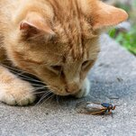 'Flying Treats': Can Dogs and Cats Snack Safely on Cicadas?