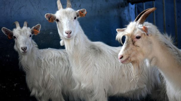 GOAT and goats: Some adorable farm animals tease Madden NFL 22 cover