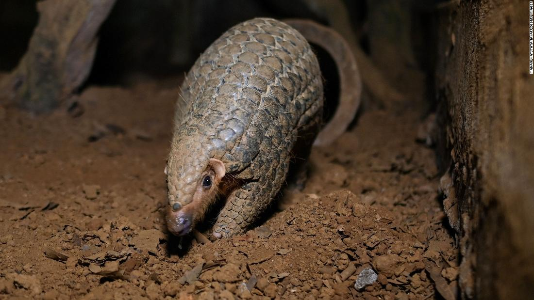 Pangolins are the 'world's most trafficked mammal.' This man wants to save them